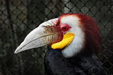 Free Wreathed Hornbill Royalty Free Stock Image - 29118166