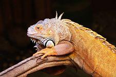 Free Yellow Iguana Stock Photos - 29118223
