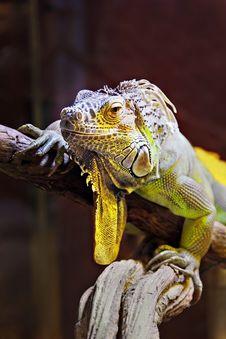 Free Yellow Iguana Royalty Free Stock Photo - 29118225