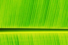 Fresh Banana Leaf Royalty Free Stock Images