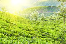 Free Tea Plantation Stock Image - 29118521