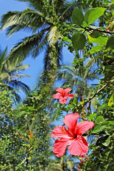 Free Hibiscus Flower Stock Images - 29118724