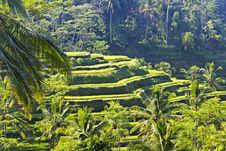 Free Beauty Rice Terrace Royalty Free Stock Photography - 29118787