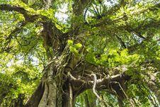 Free Banyan Tree Stock Image - 29118821