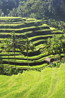 Free Beauty Rice Terrace Stock Image - 29118971