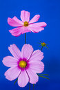 Free Pink On Blue Cosmos Royalty Free Stock Images - 29121839