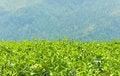 Free Tea Plantations Stock Photography - 29128522