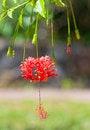 Free Red Hibiscus Stock Photos - 29128523