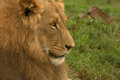 Free Lion Stock Photography - 29129812