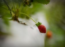 Strawberry At TreeStrawberry At Tree Royalty Free Stock Photography
