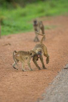 Free Vervet Monkeys Playing Stock Photography - 29125442