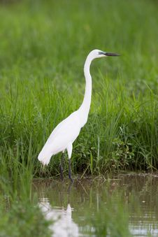 Free Cattle Egret Royalty Free Stock Image - 29125466