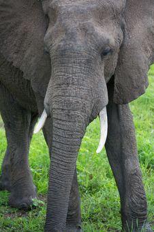 Free Elephant On Safari, Africa, Zambia Stock Photo - 29125530