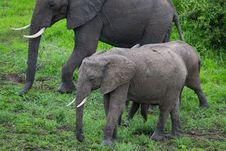 Free Elephant On Safari, Africa, Zambia Stock Photos - 29125533