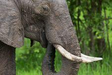 Free Elephant On Safari, Africa, Zambia Stock Image - 29125571