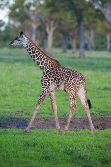 Free Baby Giraffe Calf Royalty Free Stock Photography - 29125657