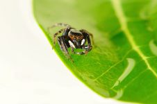 Free Jumping Spider Royalty Free Stock Images - 29126239