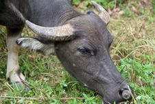 Free Water Buffalo Eating Grass Stock Photo - 29128350