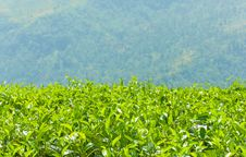 Free Tea Plantations Stock Photography - 29128522