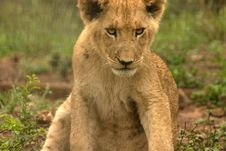Free Lion Stock Photography - 29129482