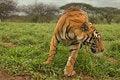 Free Tiger Royalty Free Stock Photo - 29130515