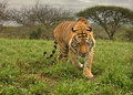 Free Tiger Stock Image - 29130611