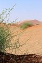 Free Xerophytic Plant &x28;Acanthosicyos Horrida&x29; In The Sandy Namib Dese Stock Images - 29137294