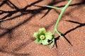 Free Xerophytic Plant &x28;Acanthosicyos Horrida&x29; In The Sandy Namib Dese Royalty Free Stock Photos - 29137358