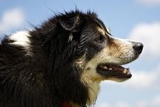 Free Border Collie Looking Ahead Royalty Free Stock Photography - 29130137