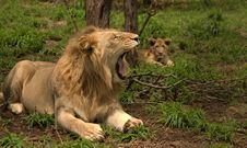 Free Lion Stock Photo - 29130410