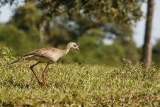 Free Hunting Red-legged Seriema Stock Photography - 29131542