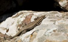 Free Anatolian Rock Lizard Royalty Free Stock Images - 29133939