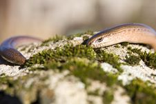 Free Slow-worm Stock Images - 29136514