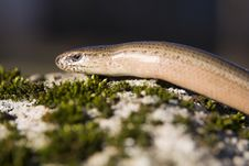 Free Slow-worm Stock Images - 29136624