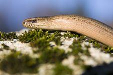 Free Slow-worm Stock Image - 29136681