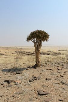 Free Quiver Tree &x28;Aloe Dichotoma&x29; In The Namib Desert Landscape Stock Photography - 29137592