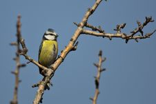 Free Blue Tit On A Tree Royalty Free Stock Photos - 29138818