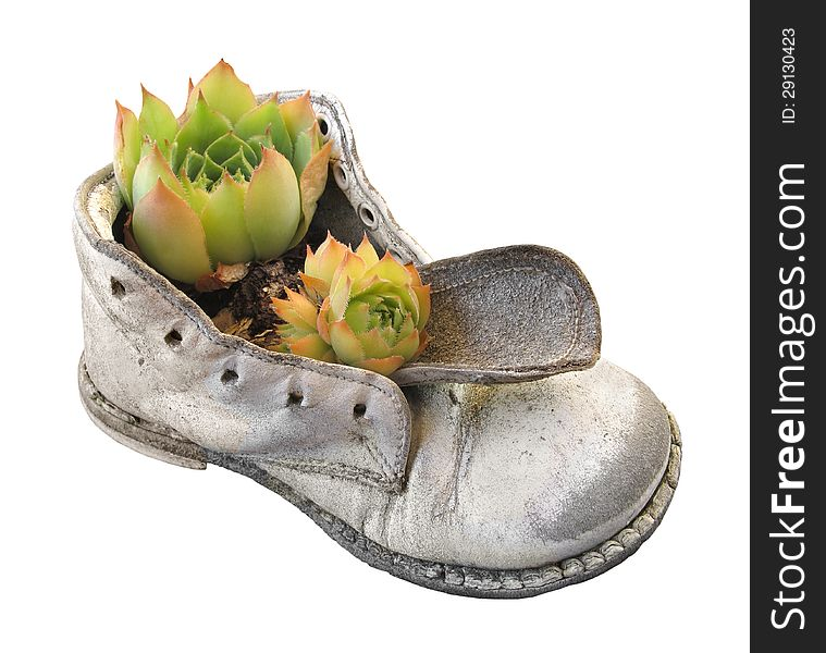 Old baby shoe and plant isolated