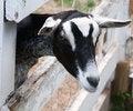 Free Goat Royalty Free Stock Photos - 29142508