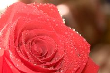 Free Red Rose Close-up Stock Images - 29141104