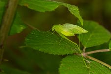 Free Green Katydid Royalty Free Stock Photography - 29142937