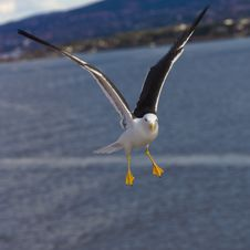 Free Portrait Of A Seagull Stock Image - 29145811