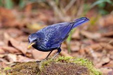 Free Blue Whistling Thrush Bird. Stock Image - 29151161