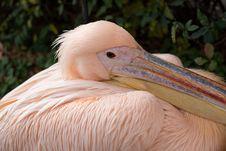 Free White Pelican Royalty Free Stock Photos - 29153798