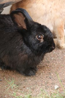 Free Black Little Rabbit. Stock Image - 29155971