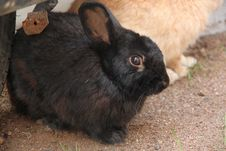 Free Black Little Rabbit. Royalty Free Stock Photography - 29155997