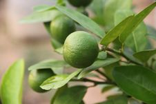 Free Lemon Trees. Royalty Free Stock Photos - 29156128