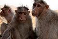 Free Pair Of Monkeys Stock Photo - 29164140