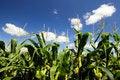 Free Corn Field Royalty Free Stock Photos - 29167228
