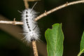 Free Hickory Tussock Caterpillar Royalty Free Stock Images - 29169039